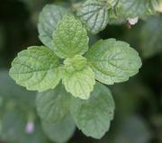 Zitronenmelisse hält Herpes-Viren in der Zellkultur in Schach