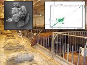 Was Landkinder vor Heuschnupfen schützt: RUB-Forscher finden Stoff im Stallstaub