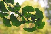 Stören Arzneimittel aus den Blättern des Ginkgo-Baums die Wirkung anderer Medikamente? Ginkgo im Sicherheits-Check