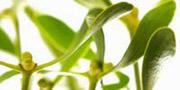 Heilpflanzen: Mythos Mistel