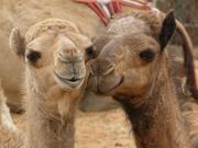 Rasante Ausbreitung in der arabischen Welt: MERS-Coronavirus von Kamel auf Mensch übertragbar