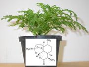 Artemisinin nicht nur für die Malaria-Therapie bedeutend, sondern auch vielversprechender Wirkstoff für die Krebsbehandlung – Medizin-Nobelpreis für Naturstoffe: Auftrieb für die Phytomedizin