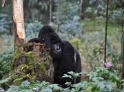 Robert Koch-Institut: Ebolafieber bei Menschenaffen und die Bedeutung für Ausbrüche bei Menschen