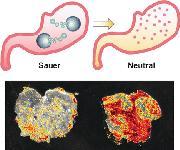 Mikromotoren neutralisieren Magensäure und setzen Wirkstoffe pH-abhängig frei: Mikro-U-Boote für den Magen
