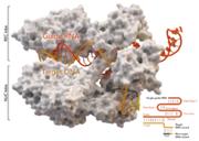 Sind wir immun gegen die Genschere CRISPR-Cas9?