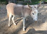 Hepatitis B: Was der Mensch vom Esel lernen kann